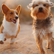 A two dogs running together